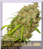 Dutch Passion Desfran Female 10 Seeds